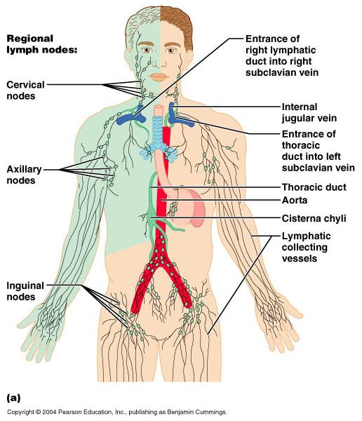 Nódulos da drenagem linfática
